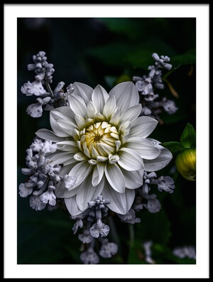 Buy this art print titled Dahlia Flower by the artist Ronny Olsson