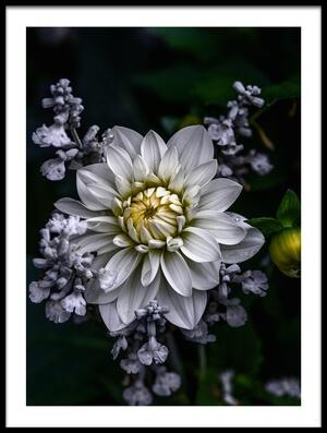 Buy this art print titled Dahlia Flower by the artist Ronny Olsson