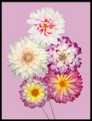 Art print titled Dahlias by the artist Brian Haslam