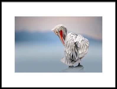 Art print titled Dalmatian Pelican at Dawn by the artist Xavier Ortega
