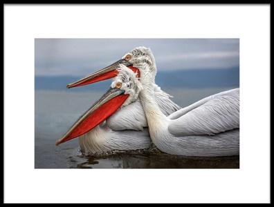 Art print titled Dalmatian Pelicans by the artist Xavier Ortega