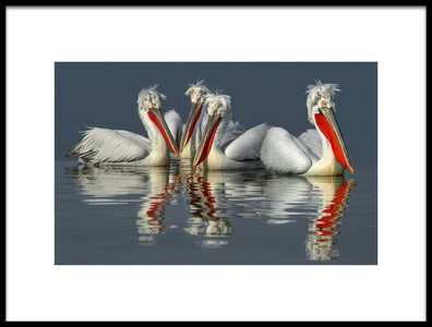 Art print titled Dalmatian Pelicans Close Up by the artist Xavier Ortega