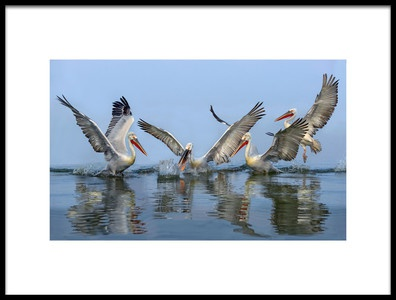 Art print titled Dalmatian Pelicans Fishing by the artist Xavier Ortega