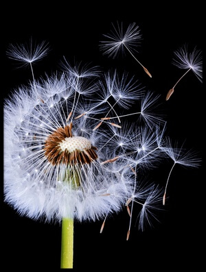 Buy this art print titled Dandelion Blowing by the artist Bess Hamiti