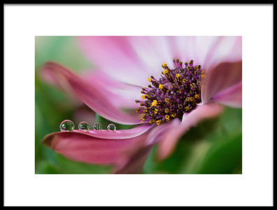 Buy this art print titled Delicate Beauty by the artist Silvia Spedicato