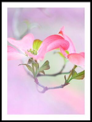 Buy this art print titled Dogwood by the artist Purple Bamboo
