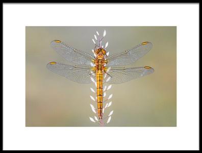 Art print titled Dragonfly by the artist Petar Sabol