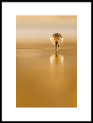 Buy this art print titled Dunlin Reflection by the artist Mario Suárez
