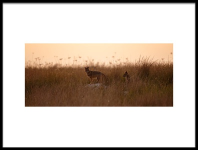 Art print titled Dusk Jackals by the artist Assaf Gavra