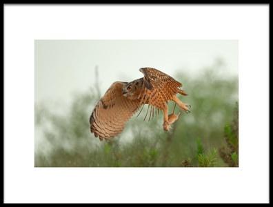 Art print titled Eagle Owl Amp Snatch by the artist Assaf Gavra