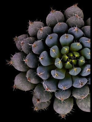 Buy this art print titled Echeveria Setosa Var Deminuta by the artist Victor Mozqueda