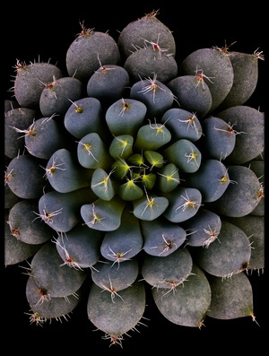 Buy this art print titled Echeveria Setosa Var Deminuta II by the artist Victor Mozqueda