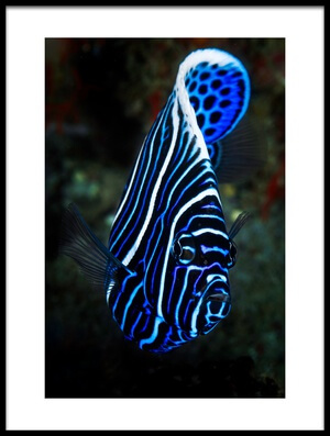 Art print titled Emperor Angelfish by the artist Barathieu Gabriel