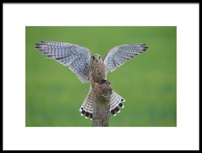 Buy this art print titled European Kestrel by the artist Ray Cooper
