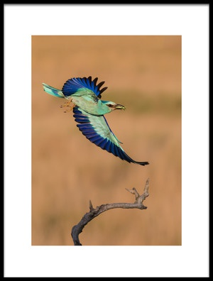 Buy this art print titled European Roller In Breeding by the artist Cheng Chang