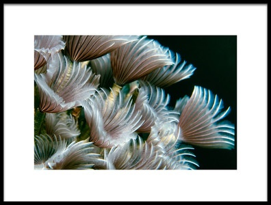 Art print titled Feather Duster Worms by the artist Alfred Forns
