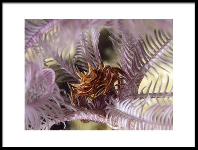 Art print titled Feather Star Crab Ceratocarcinus Spinosus by the artist Ilan Ben Tov