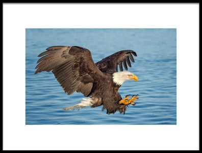 Buy this art print titled Fishing Eagle by the artist Cheryl Schneider