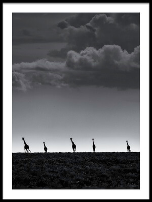 Buy this art print titled Five Giraffes by the artist Greg Metro
