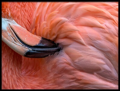 Buy this art print titled Flamingo Close Up by the artist Xavier Ortega