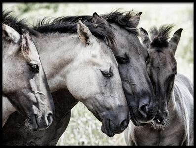 Buy this art print titled Four Konik Horses by the artist Jaap van den Helm