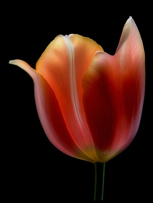 Buy this art print titled French Tulip by the artist Lotte Grønkjær