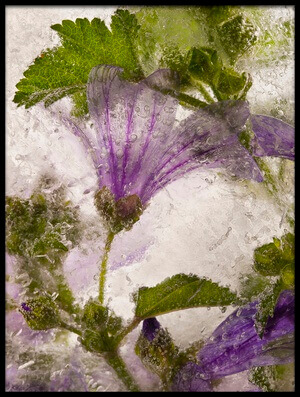 Buy this art print titled Frozen Mallow Flower by the artist Secundino Losada