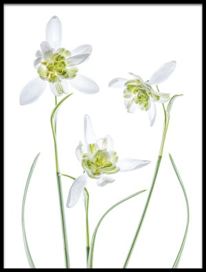 Art print titled Galanthus Flore Pleno by the artist Mandy Disher