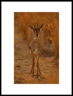 Buy this art print titled Gazella Portrait by the artist Assaf Gavra