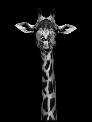 Buy this art print titled Giraffe Portrait by the artist WildPhotoArt
