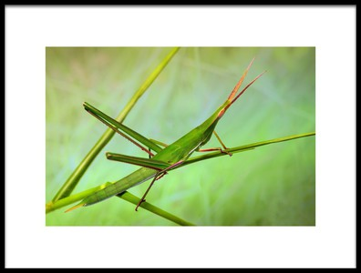 Art print titled Grasshopper by the artist Jimmy Hoffman