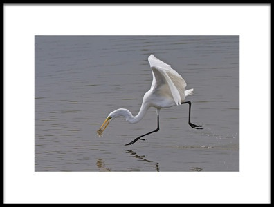 Buy this art print titled Great Egret by the artist Ray Cooper