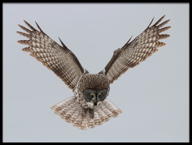 Buy this art print titled Great Grey Owl by the artist sufang wang