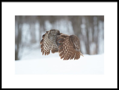 Art print titled Great Grey Owl by the artist Jim Luo