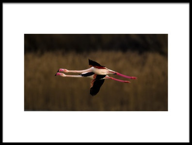 Art print titled Greater Flamingo by the artist marius floca