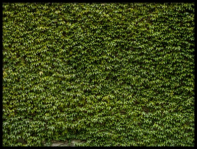 Buy this art print titled Green Ivy Leaves Wall 1 by the artist 1x - Prints2