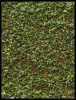 Art print titled Green Ivy Leaves Wall by the artist 1x - Prints1