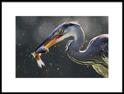 Art print titled Grey Heron Catching Fish by the artist Young Feng