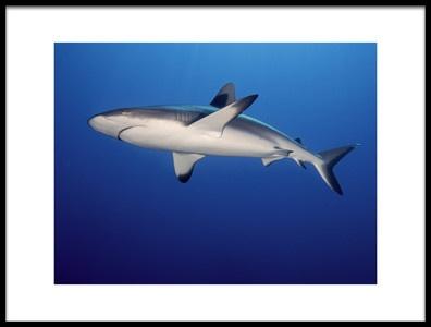 Art print titled Grey Reef Shark Carcharhinus Amblyrhynchos by the artist Ilan Ben Tov
