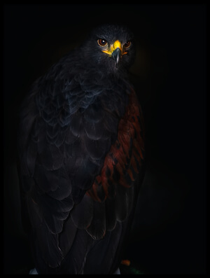 Buy this art print titled Harris's Hawk Portrait by the artist Santiago Pascual Buye