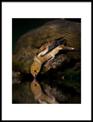 Art print titled Hawfinch Drinking by the artist Young Feng