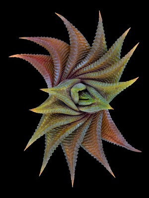 Buy this art print titled Haworthia Limifolia by the artist Victor Mozqueda