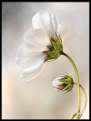 Buy this art print titled Heavenly Cosmos by the artist Mandy Disher