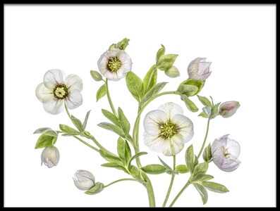 Art print titled Hellebore by the artist Mandy Disher