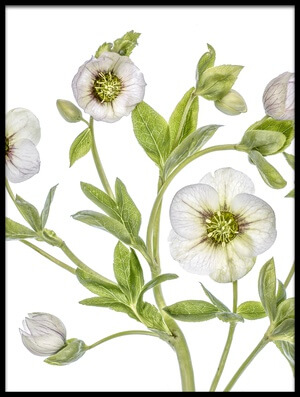 Buy this art print titled Hellebore III by the artist Mandy Disher
