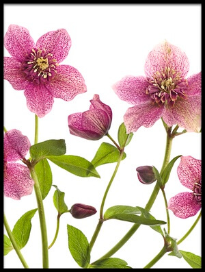 Buy this art print titled Helleborus X Hybridus Tutu by the artist Jacky Parker