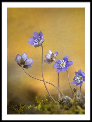 Buy this art print titled Hepatica Nobilis Flower by the artist Piet Haaksma