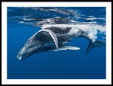 Art print titled Humpback Whale Calf,  Reunion Island by the artist Cédric Péneau