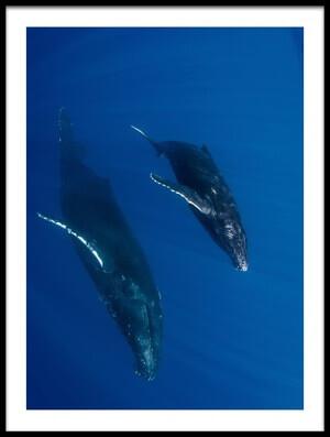 Art print titled Humpback Whales, Reunion Island by the artist Cédric Péneau