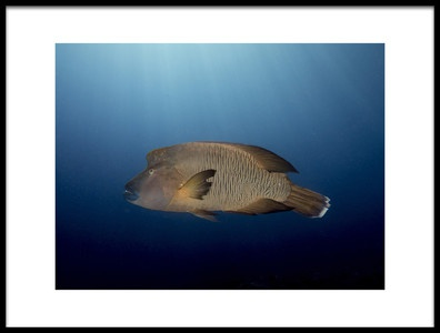 Art print titled Humphead Wrasse by the artist Ilan Ben Tov